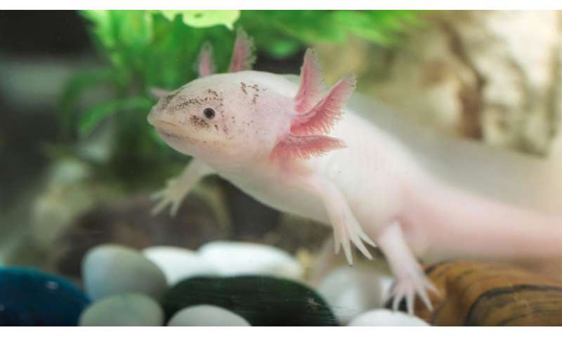Team creates online database to compare regenerative tissue capabilities among animals