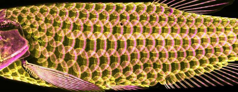 The ancient armor of fish -- scales -- provide clues to hair, feather development