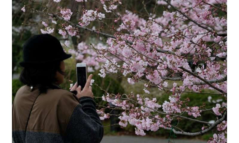 The appearance of cherry blossoms is hotly anticipated each year, with forecasters publishing updated maps weeks in advance