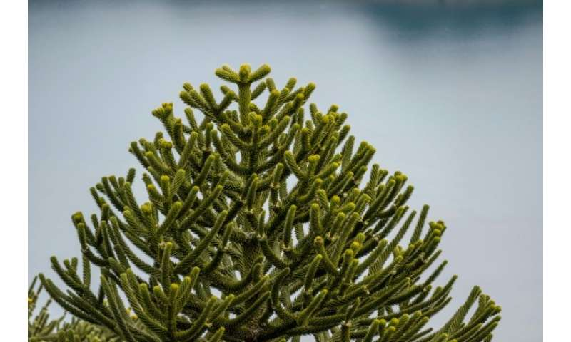 The araucaria araucana Chilean pine tree is seen as sacred by several local tribes