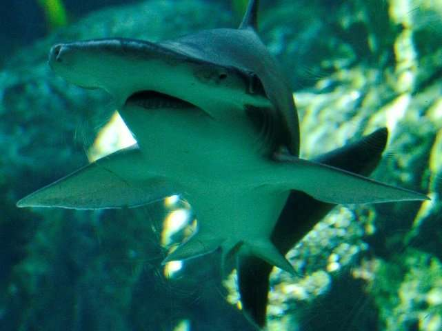 The bonnethead follows an omnivorous diet in which seagrass plays a key, nutritional role.