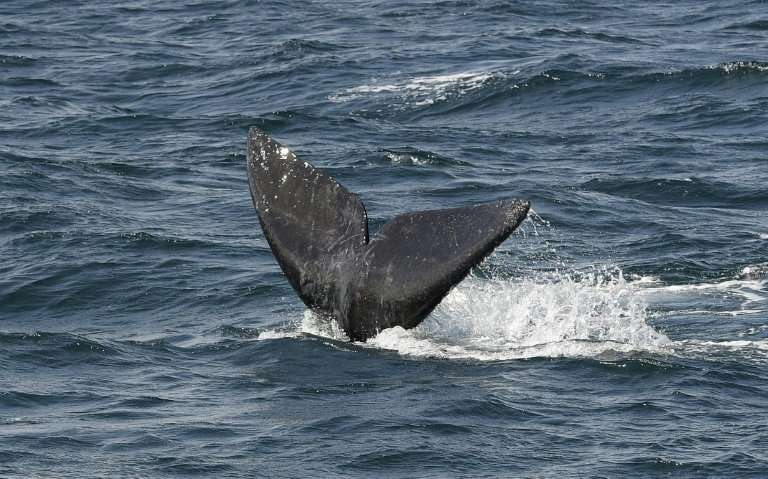 The Bureau of Ocean and Energy Management issued a report that found airgun blasts could injure as many as 138,000 marine mammal