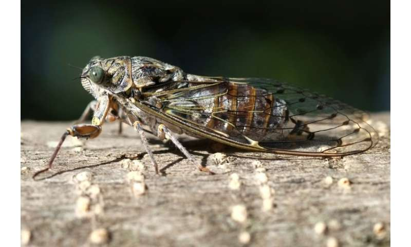 The cicada, a symbol of France's southeastern area of Provence, is proving too loud for tourists—several have complained to the