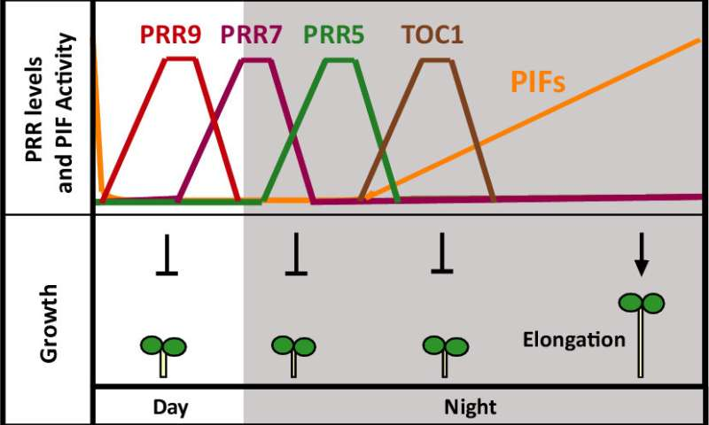 The circadian clock sets the pace of plant growth