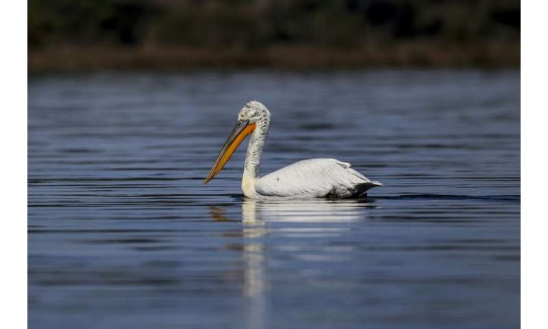 The Dalmatian pelican (Pelecanus crispus) is on the International Union for Conservation of Nature red list of threatened specie