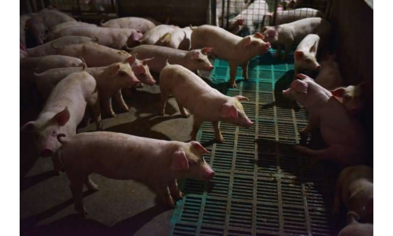 The emergence of the disease has fuelled growing fears of a major impact on the world's largest pig producer
