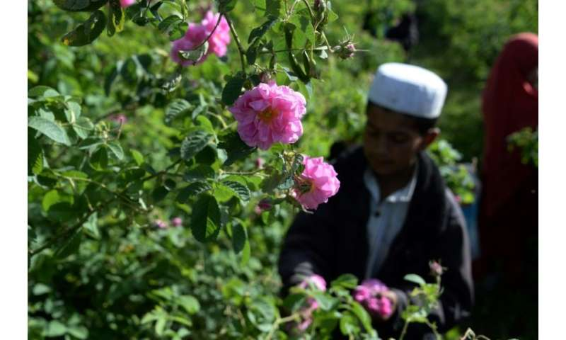 The farmers grow a variety known as Damask roses, which were brought from Bulgaria by the Germans but are endemic to Afghanistan