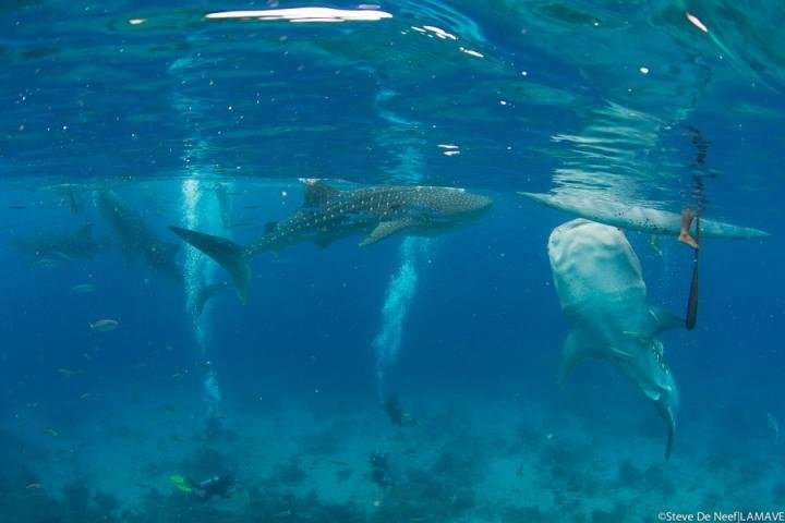 The impacts of whale shark mass tourism on the coral reefs in the Philippines