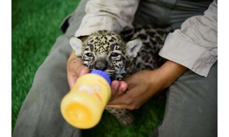 The jaguar cubs frolic and play with their caretakers—who feed them through baby bottles—but in three months' time they will be