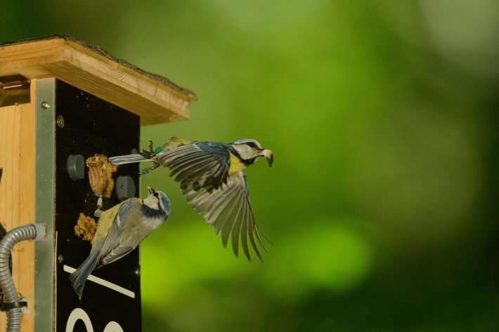 The loss of a parent is the most common cause of brood failure in blue tits