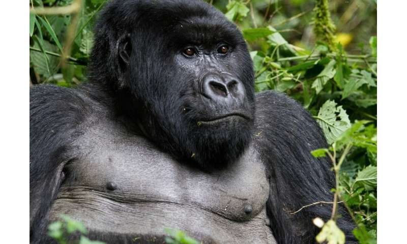 "The mountain gorilla has been moved from the ""critically endangered"" category to ""endangered""."