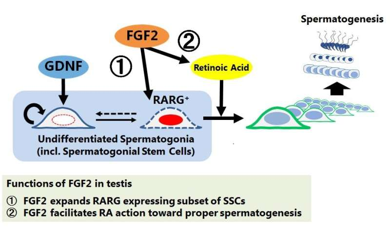 The novel function of self-renewal factor of spermatogonial stem cells is identified