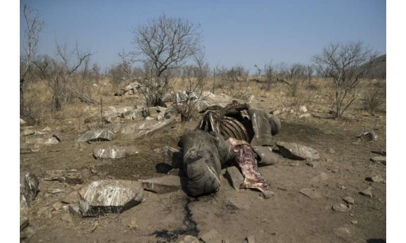 The number of rhinos killed in South Africa has mounted from 13 in 2007 to more than 1,000 annually