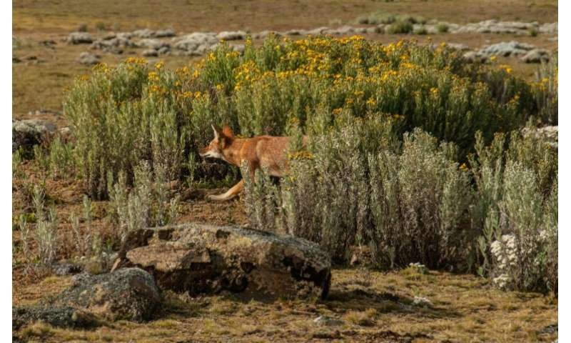 The population of the Ethiopian wolf, Africa's most endangered carnivore, was wiped out by disease spread from domestic dogs