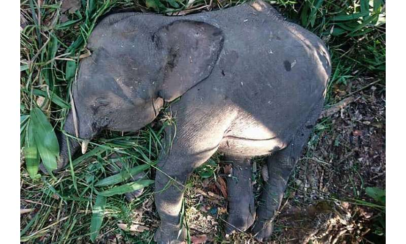 The pygmy elephant was belived to have been killed after destroying villagers' crops in a remote area of Borneo