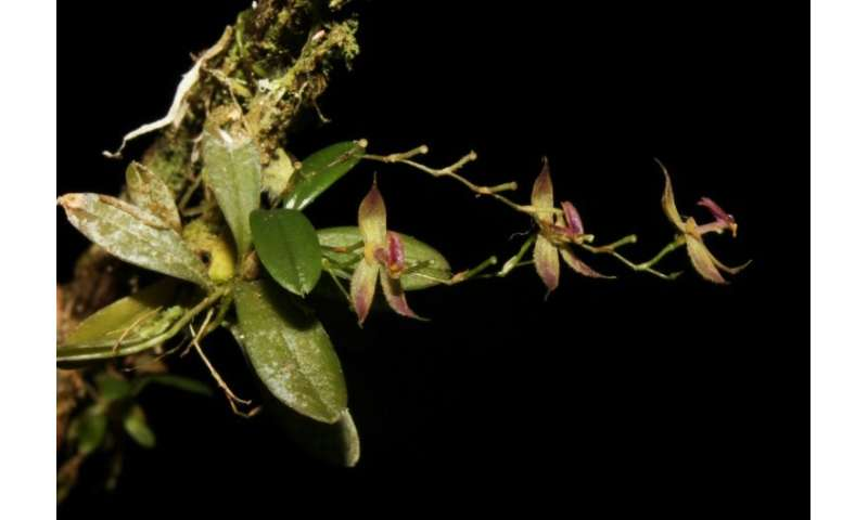 """The recently discovered orchid species """"Andinia tingomariana,"""" found by a group of Peruvian botanists in the central A"""