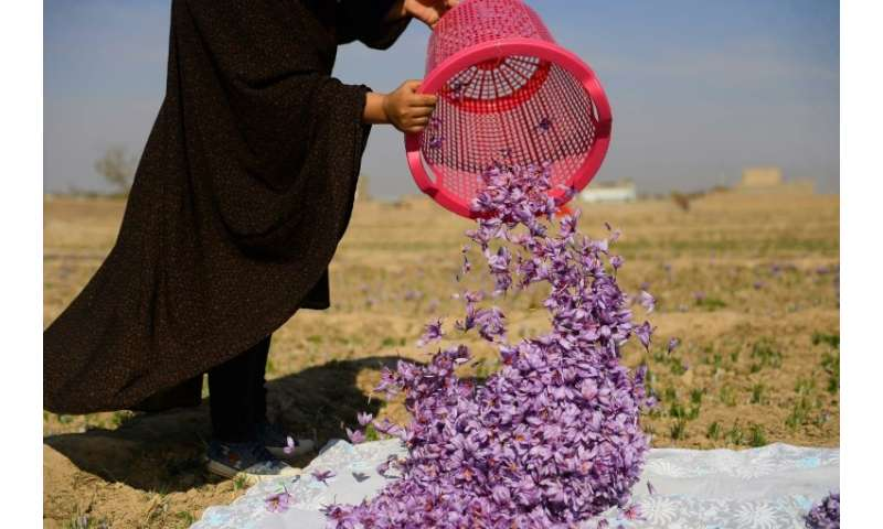 The saffron is shipped to 17 countries including China, India and the Gulf states as well as Europe and North America