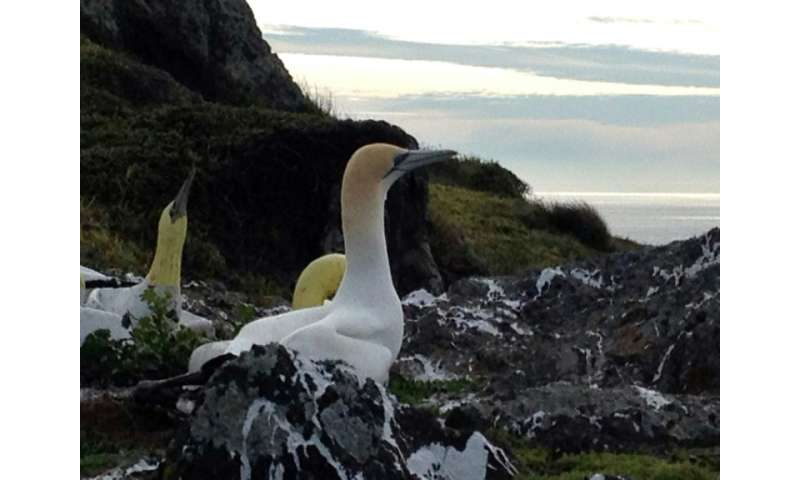 """The seabird, also known as """"no-mates Nigel"""", spent years living among a colony of fake concrete birds set up by conser"""
