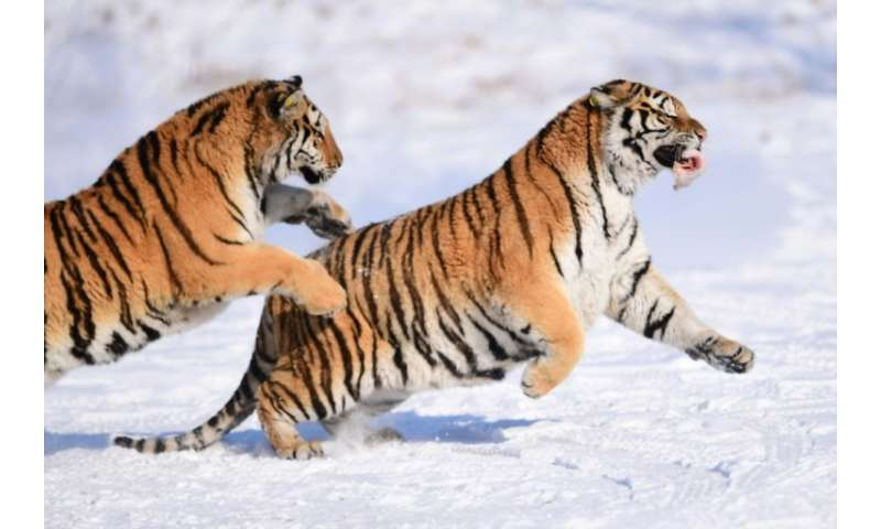The Siberian tiger, seen here in a reserve in northeastern China, is an endangered species, hunted for use in traditional Chines