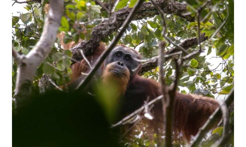 The Tapanuli orangutan is a newly discovered species that numbers just 800 individuals