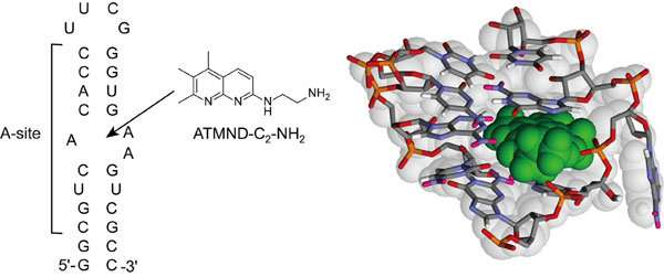The tightest non-aminoglycoside ligand for the bacterial ribosomal RNA A-site