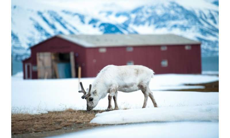 The warmer Arctic temperatures are wreaking havoc on the Arctic ecosystem, decimating wildlife populations including reindeer