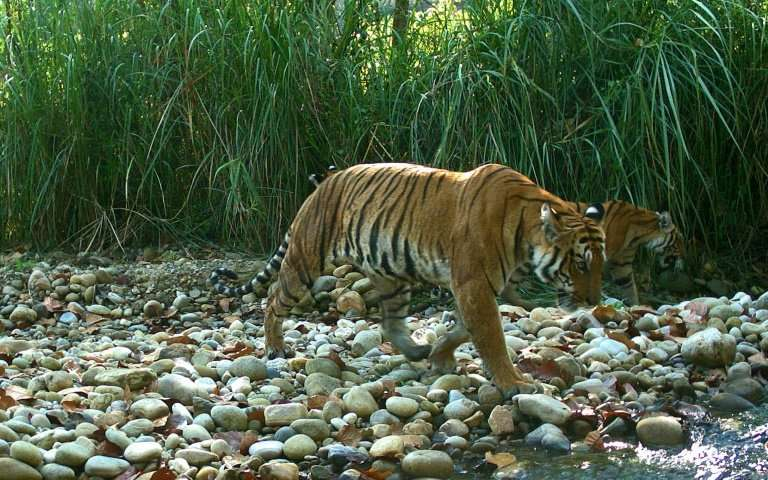 The wild tiger population in Nepal was counted as 235 in a survey carried out this year, double that in 2009