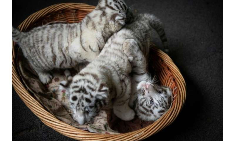 The zoois home to 41 of this rare variety of white Bengal tiger