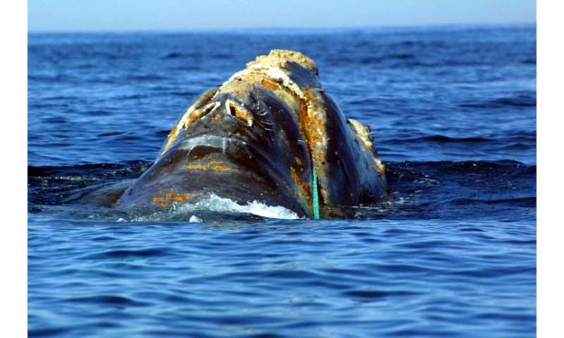 This endangered North Atlantic right whale is entangled in heavy plastic fishing link off Cape Cod, Massachusetts