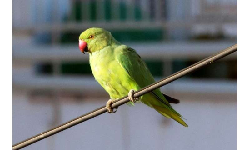 Thousands of rose-ringed parakeets, close relatives of parrots, have made their home in the Netherlands over the past five decad