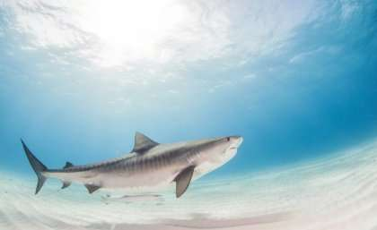 Tiger shark sex life fuels sustainability risk