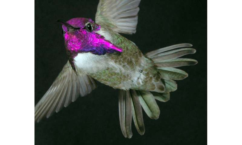 To impress females, costa's hummingbirds 'sing' with their tail feathers