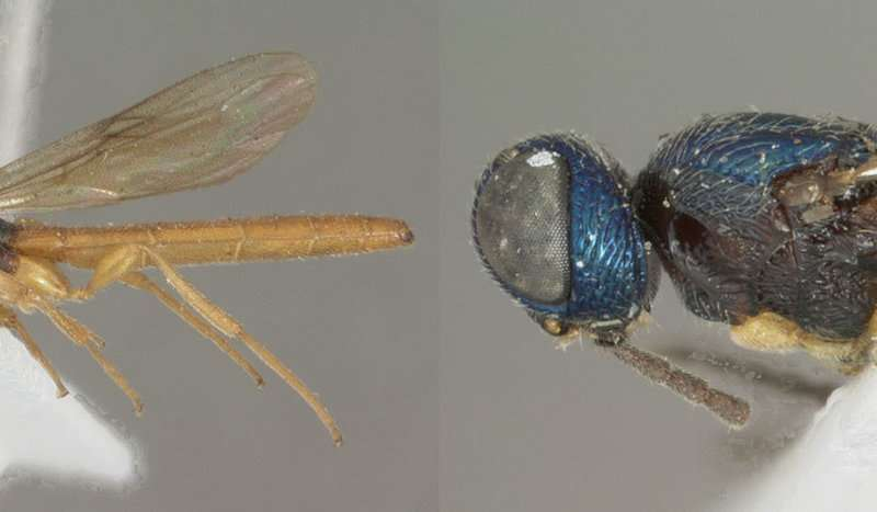 Total of 21 new parasitoid wasps following the first ever revision of their genus