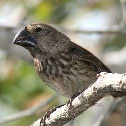 Transcriptomics explains how 15 species of finch evolved from a single ancestor