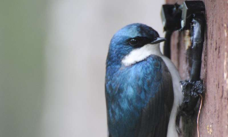 Tree swallow study: Stressful events have long-term health impacts