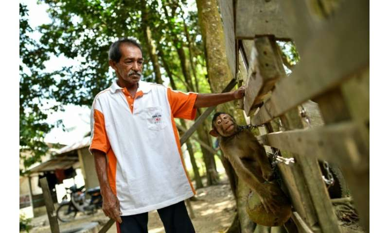 Turning a monkey into a top-notch coconut picker can take anything from a few days to a month, Wan says