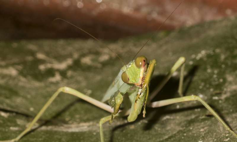 Two fishes a day keep the mantid coming back to prey: The first fishing praying mantis