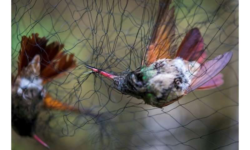 Two hummingbirds (Amazilia Beryllina) are trapped in a net set by biologists in a pollination garden set by the National Autonom