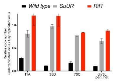 Two proteins slow down the train of DNA replication in Drosophila
