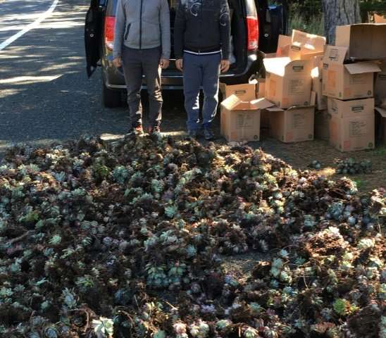 Two unidentified men stand beside a load of Dudleya succulent plants, allegedly stolen by international poachers from remote cli