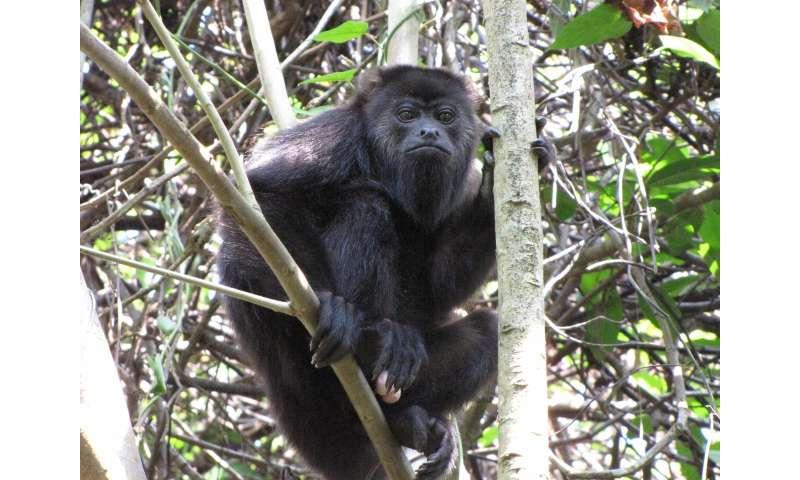 U-M howler monkey study examines mechanisms of new species formation