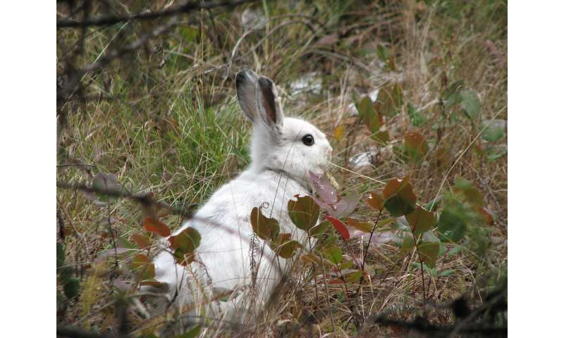 UM research identifies how snowshoe hares evolved to stay seasonally camouflaged