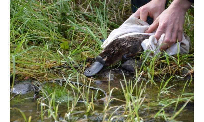 UPDATE: On the DNA trail of the platypus