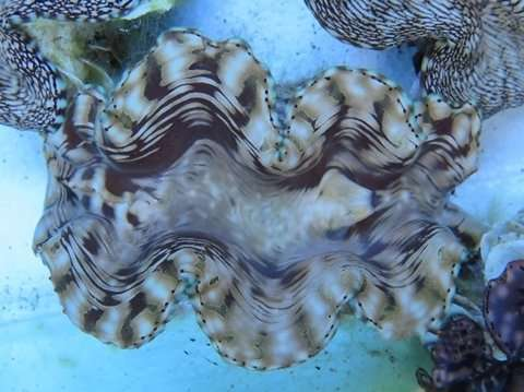 Urea-absorbing ability of giant clams
