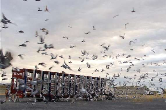 Using whole genome analysis to home in on racing pigeon performance