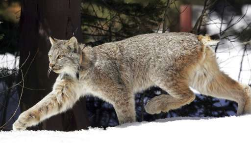 US says snow-loving lynx no longer need special protection