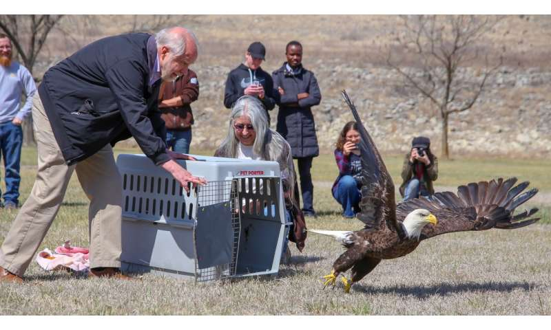Veterinary intervention helps Kansas bald eagle fly again after lead poisoning