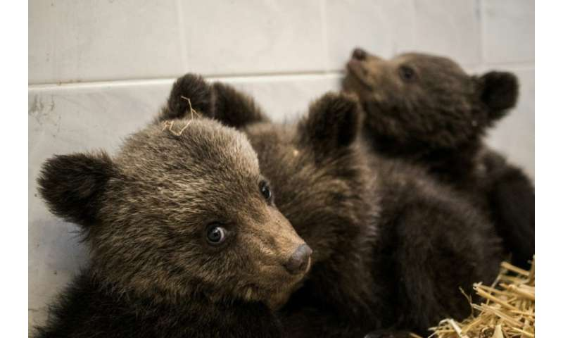 Villagers found the three cubs roaming alone on a road in Bulgaria's Rhodope mountains