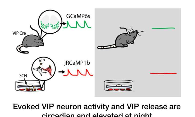 VIP neurons shift daily rhythms