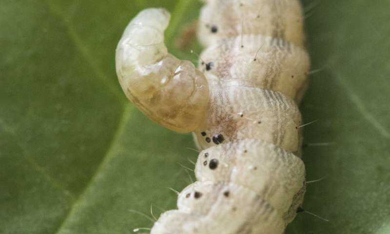Virus inhibits immune response of caterpillars and plants